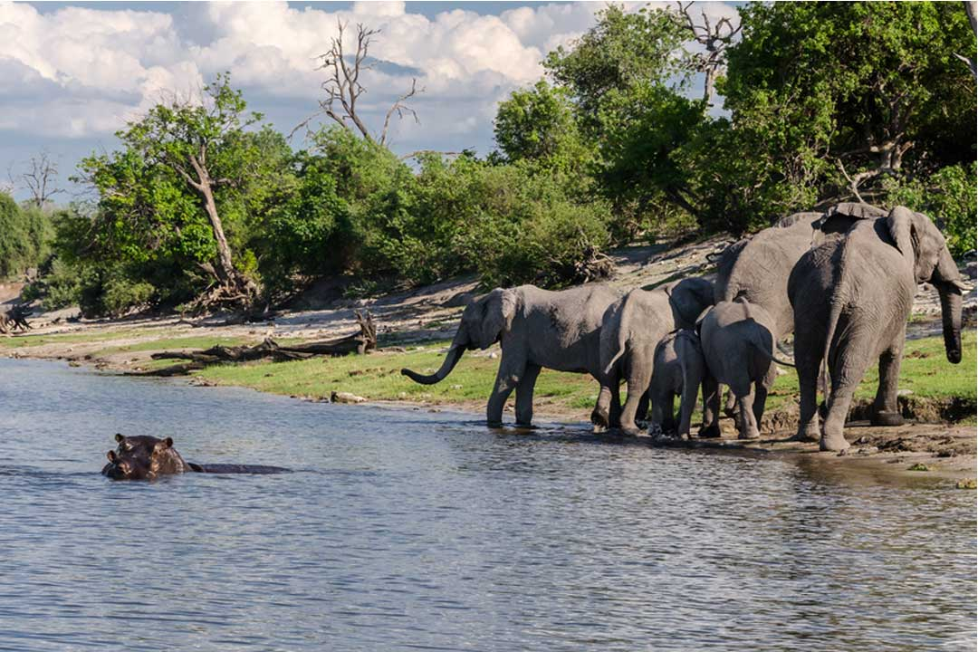 a family of elephants in a river with a hippo