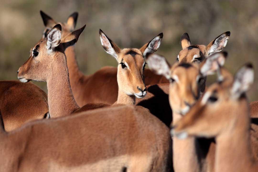 a herd of empala