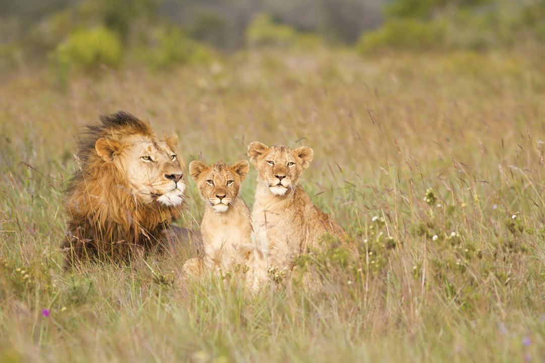 a male lion sits down with two lion cubs in long grass