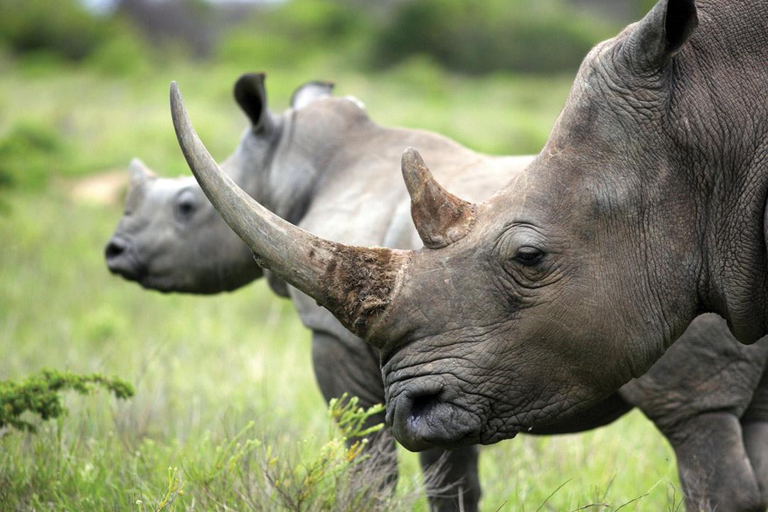 two rhino in a green field