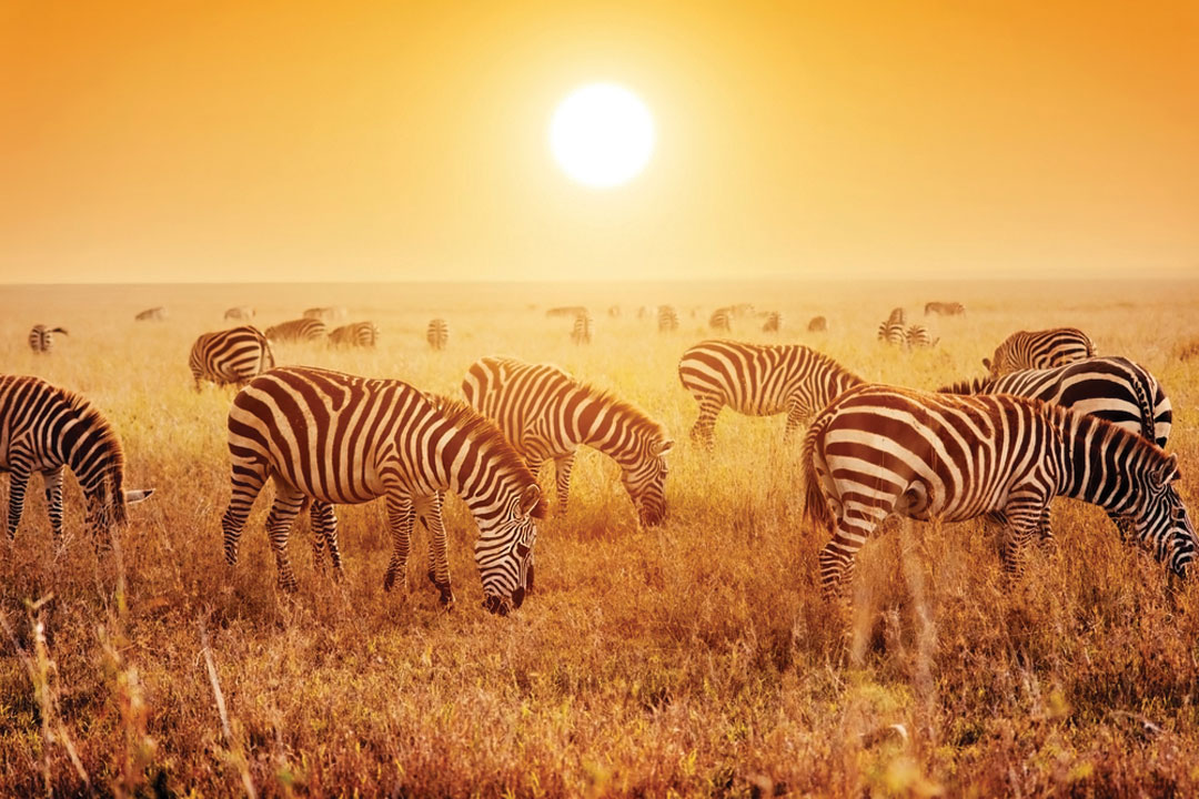 a herd of zebra by the rising sun
