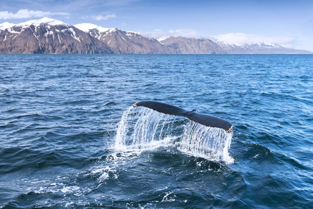 the tail of a whale descending into water