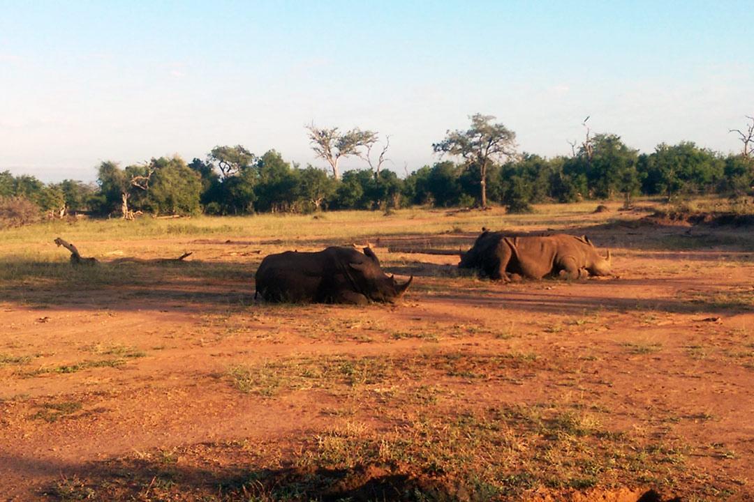 Three rhinos having a snooze in the African Savannah