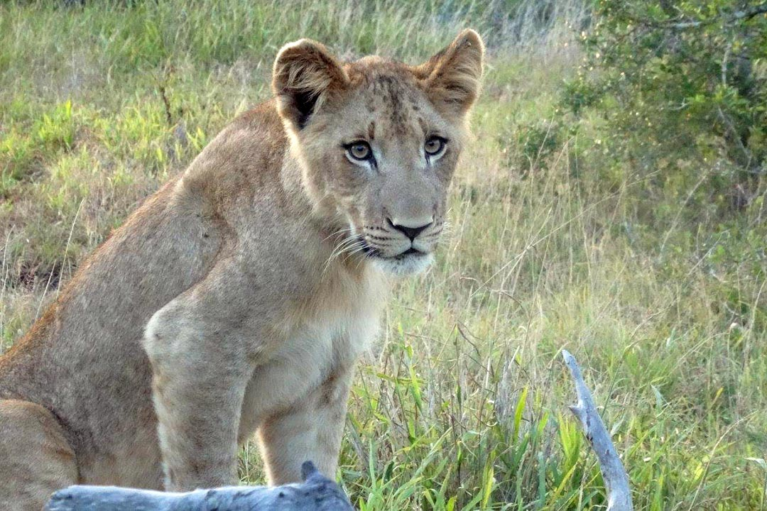 A baby lion with brown eyes and sitting in long grass