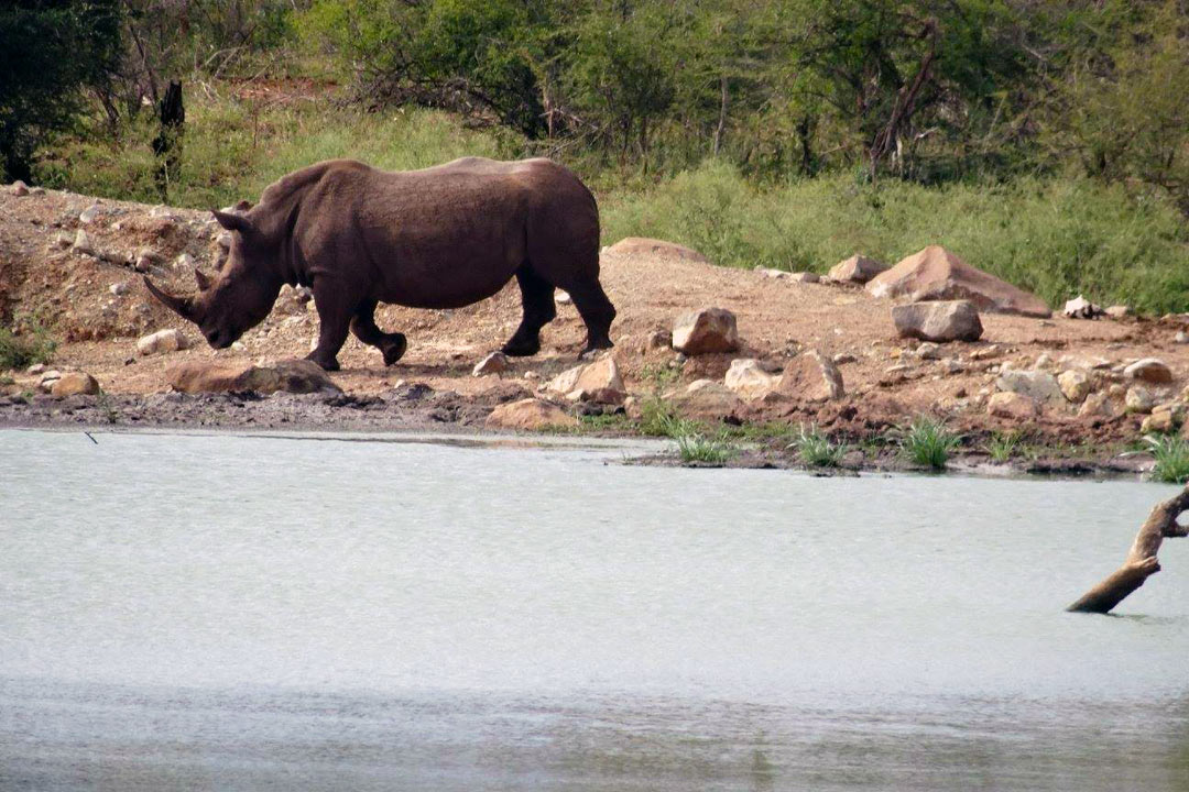 A horned rhino walking towards a calm river for a drink.