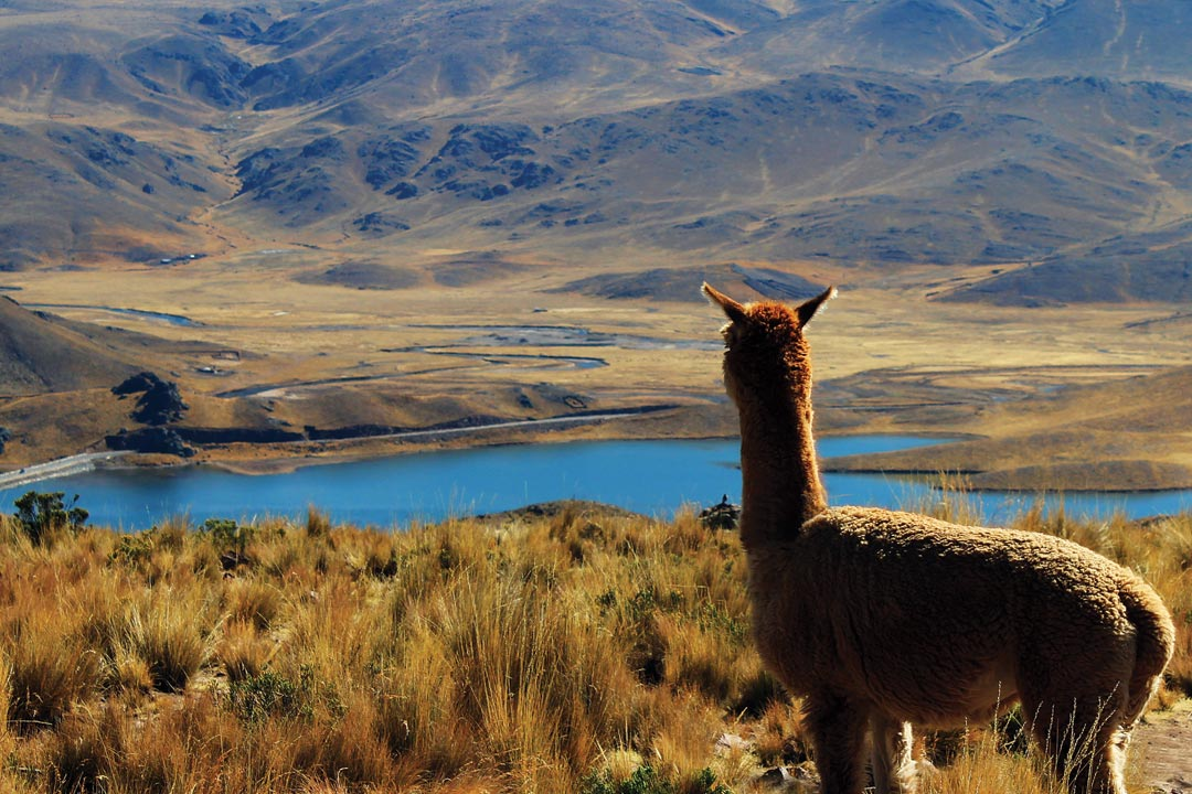 A llama overlooking a blue lake in the Andes Mountains.