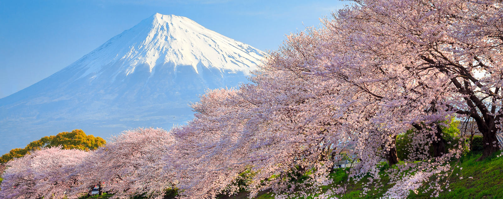 Pink blossom trees lining a river in the foreground with a snow-capped Mount Fuji in the background.