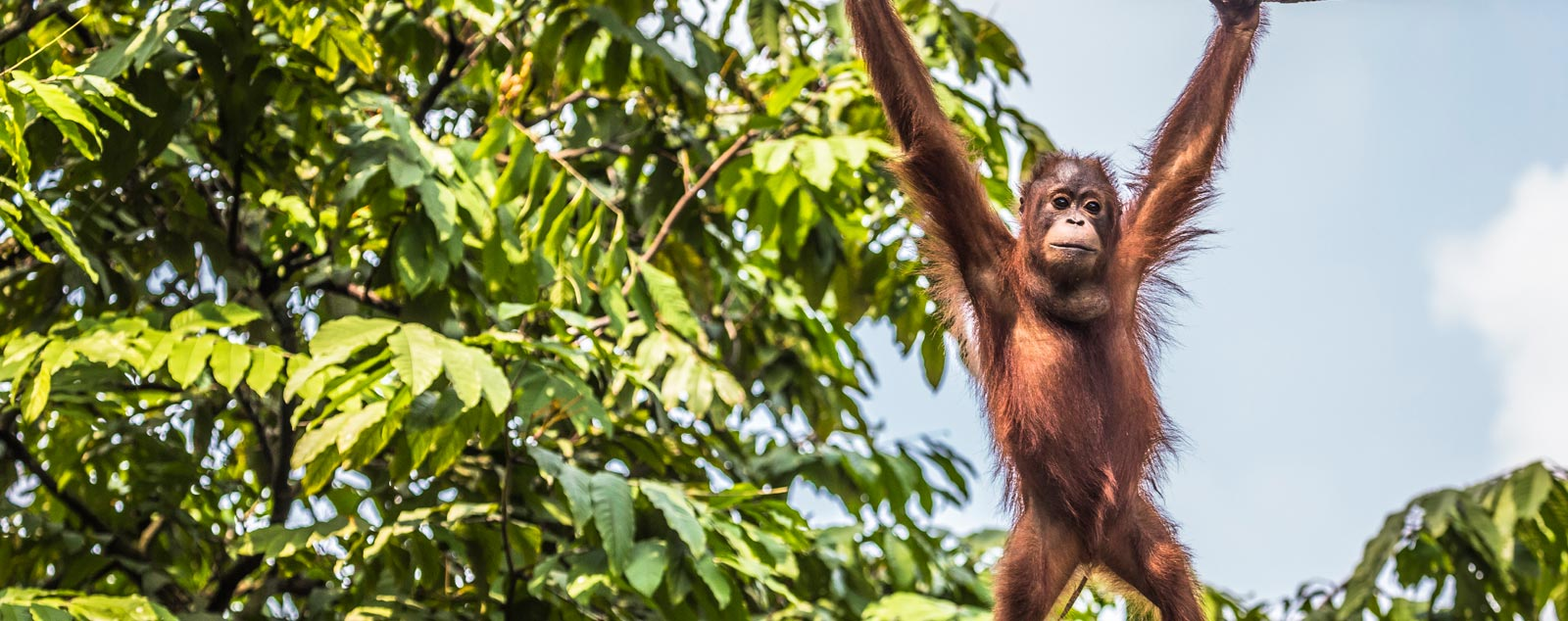 an orangutan baby hangs from a tree branch
