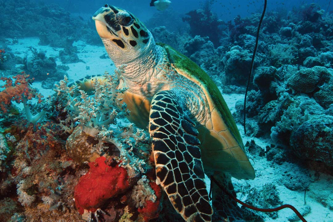 A giant sea turtle swims amongst colourful coral