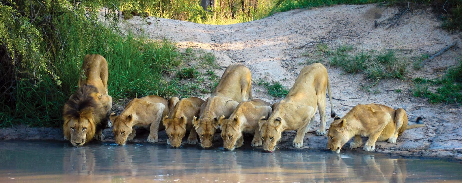 A lion and his pride of six lionesses crouched by a watering hole drinking water