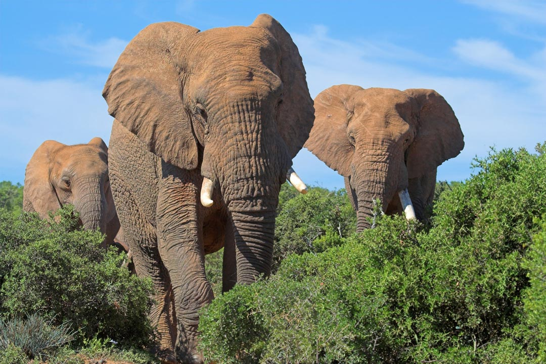 Three huge grey African Elephants with white tusks striding through the green bush