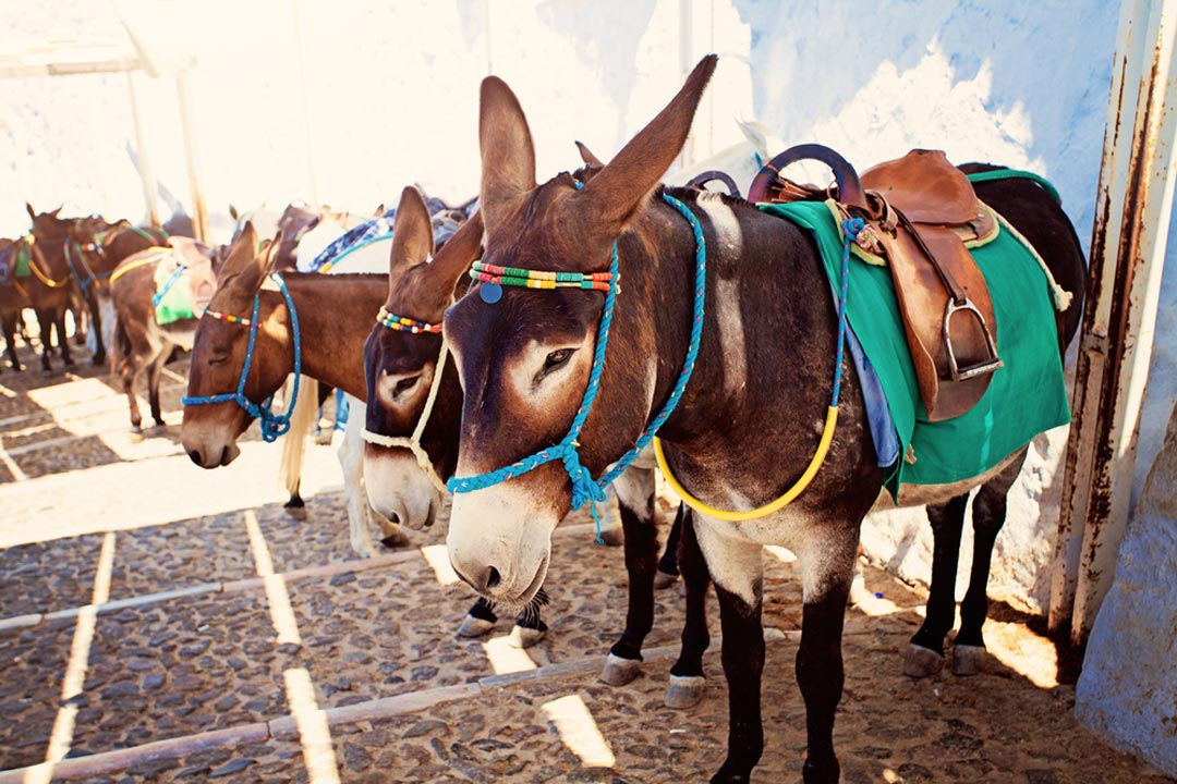 Iconic Santorini donkeys lined up on cobbled steps in Thira