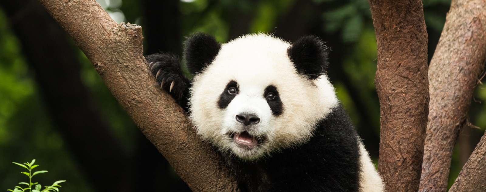 A giant panda with a white face and black eye patches and ears