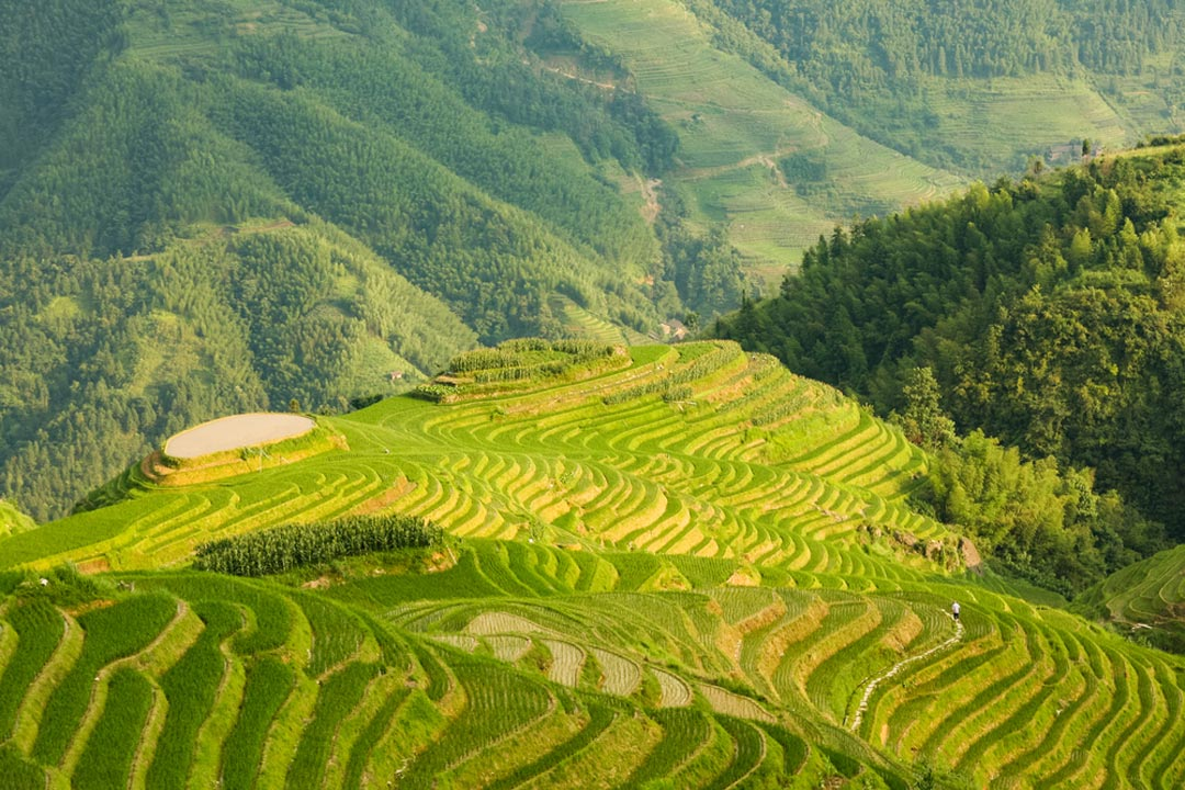 Green rice paddies descending a lush hill in steps