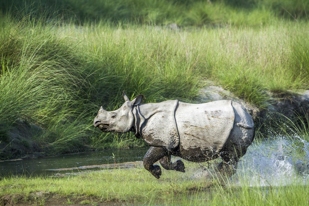 A Nepalese rhino with a small front horn running through a river