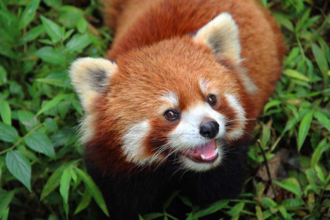 A small red panda with white cheeks looking up at the camera