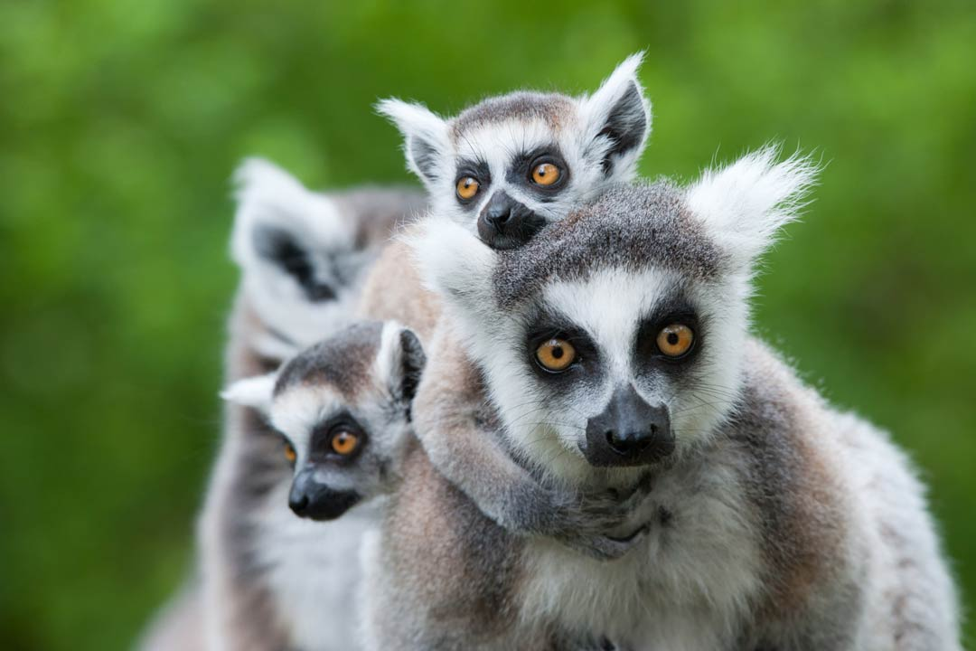 A family of lemurs cling to their mother. They have white tufted ears, grey fur and round beady eye