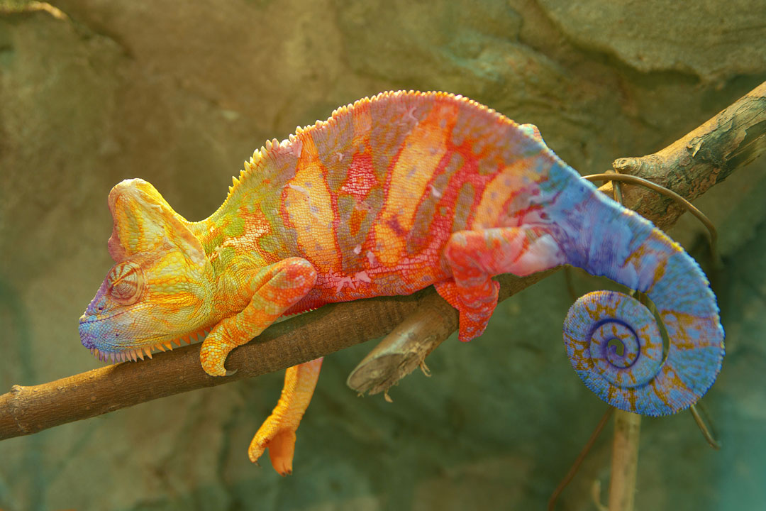A multi-coloured chameleon perched on a branch