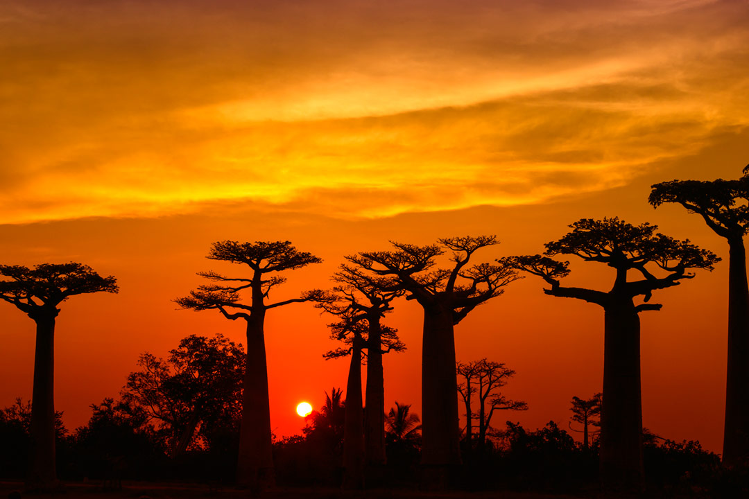 A bright sunset turns the sky orange and frames the shadowed avenue of the baobab trees