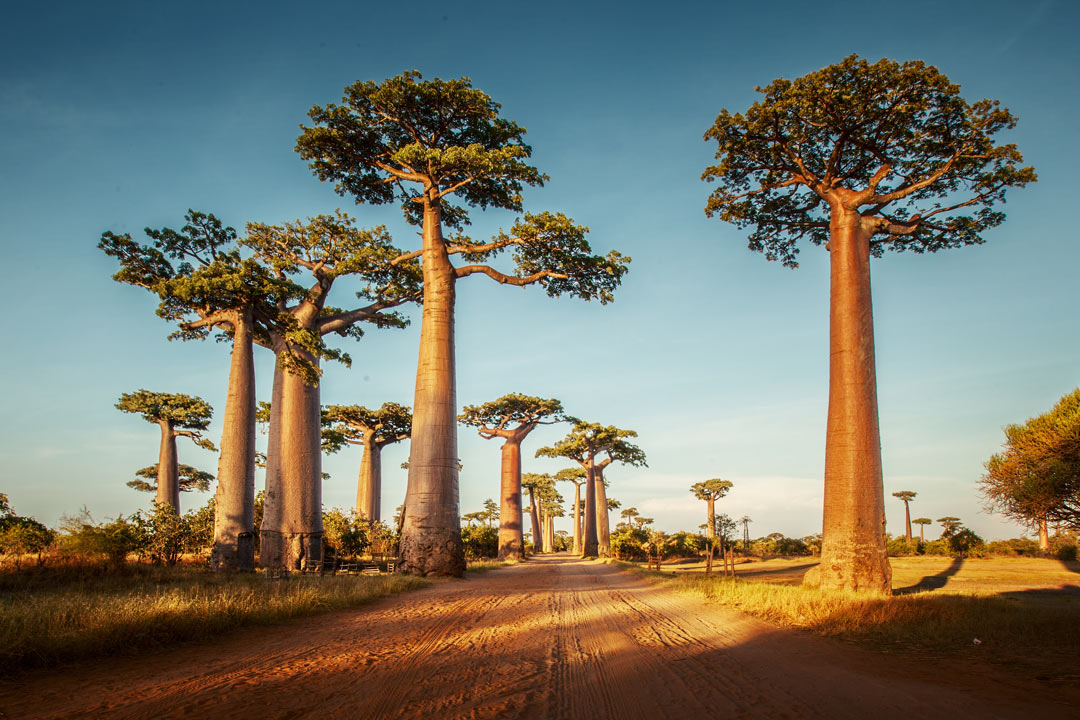 A dirt track is lined by towering baobab trees and grassy plains
