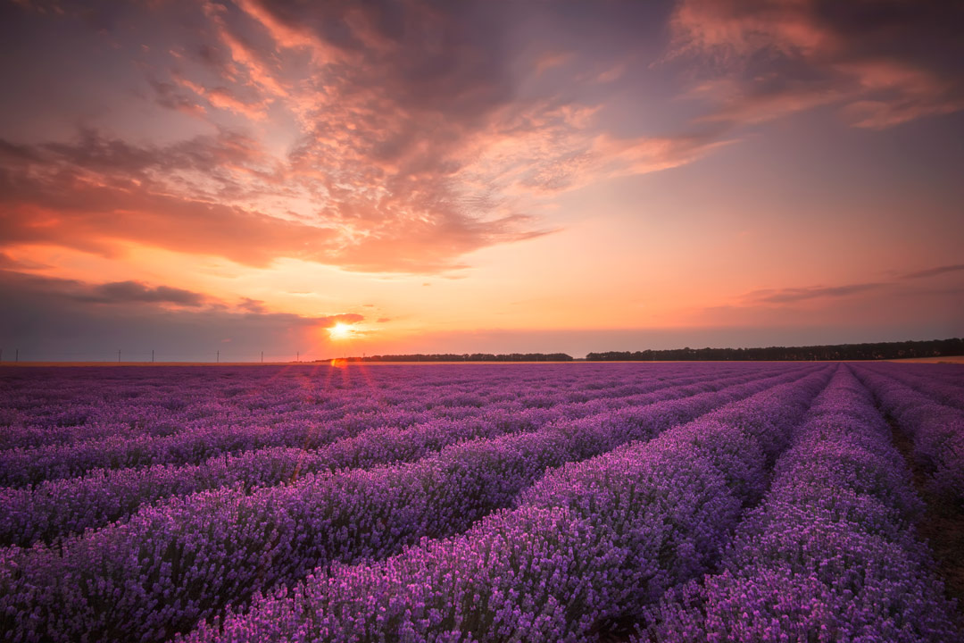 An orange sunset in the background with extensive purple lavender fields stretching across the landscape