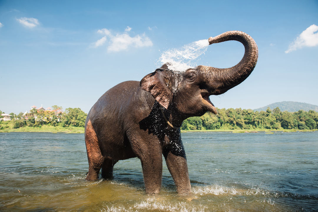 An elephant stood in a river spraying water on her back from her trunk
