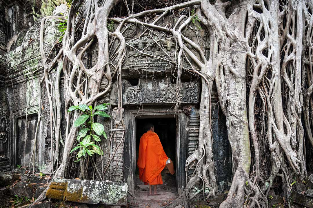 A monk robed in orange walking into a temple that has been swallowed by the jungle