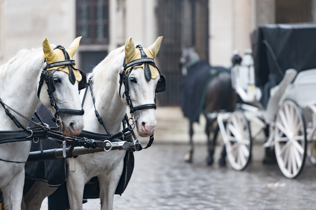 Two white horses, their ears covered with golden material are bridled to pull along an old fashioned carriage