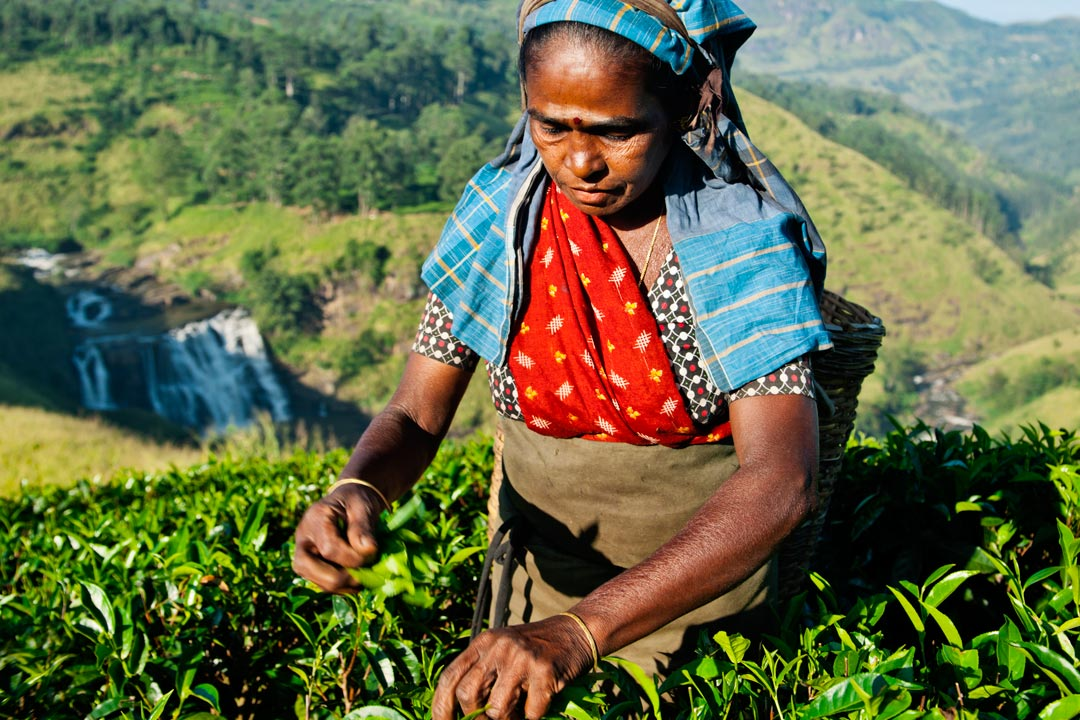 An Indian woman in traditional dress picking tea leaves with her hands