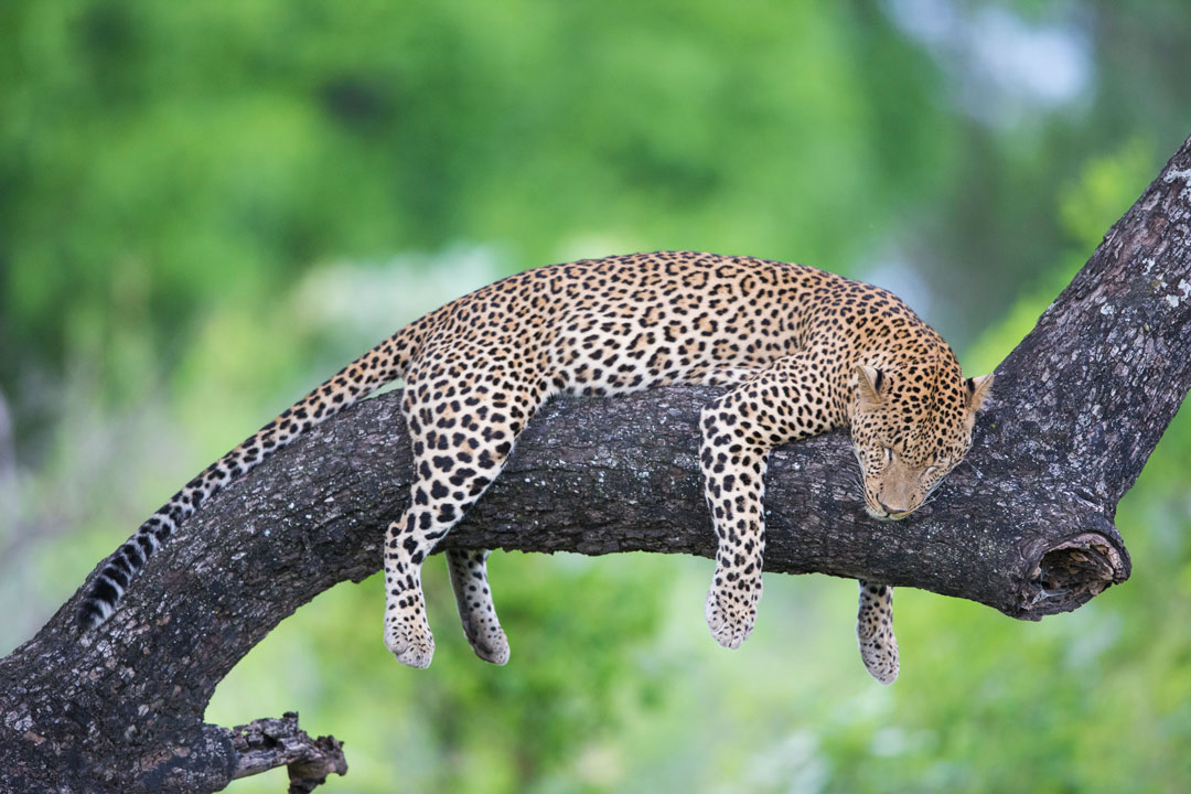 A leopard lounges on a tree branch. It is asleep and its four limbs dangle down