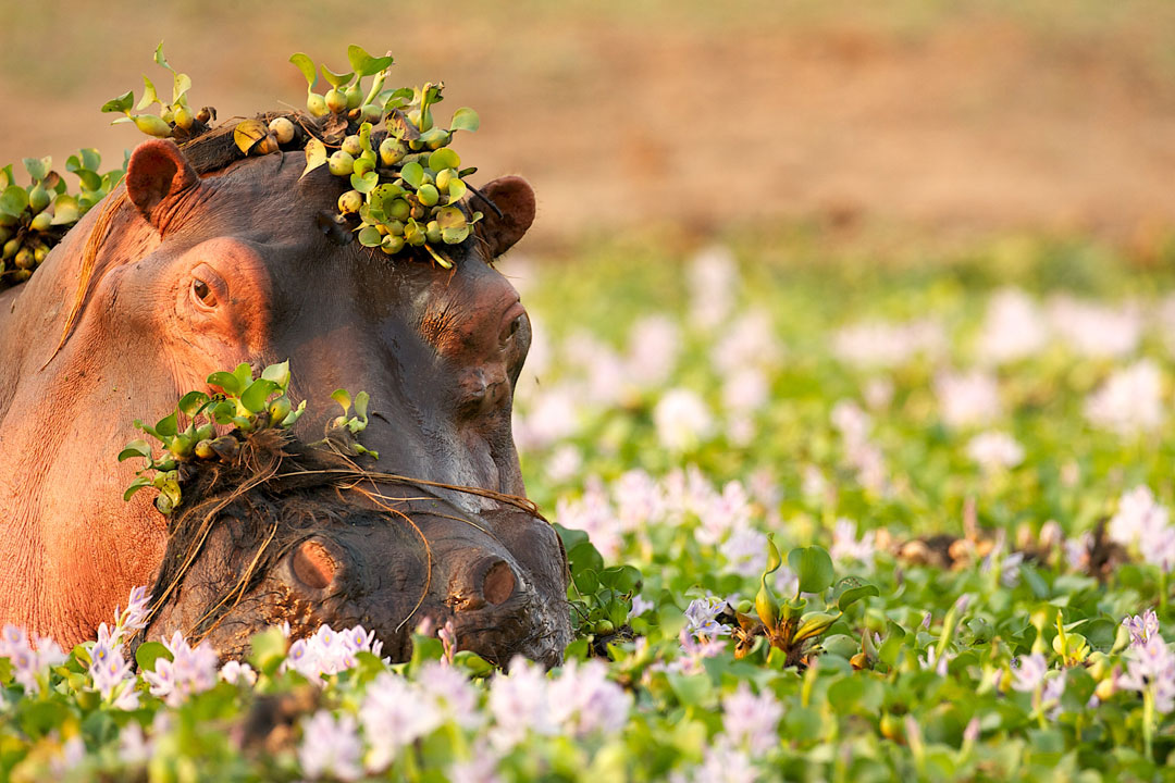 A hippo's head pokes above the shrubbery, its head is covered in plans and small berries