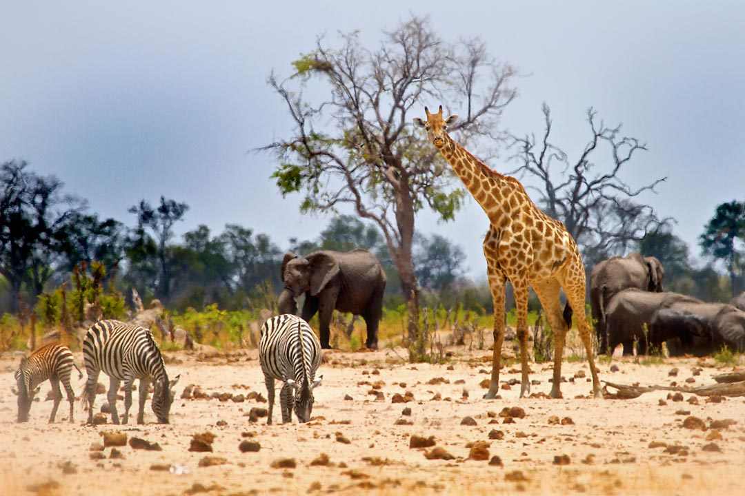 Zebra and a giraffe are in the foreground, with a group of elephants congregated behind them