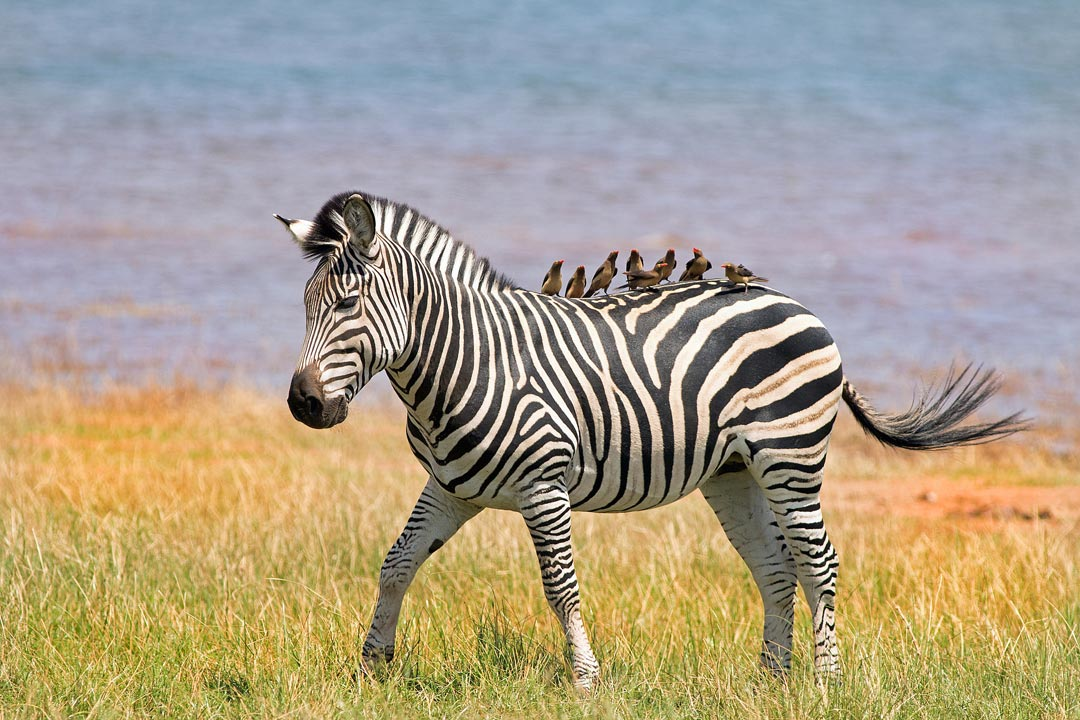 A zebra has almost ten birds resting on its back. The zebra is standing calmly in long grass with a lake in the background