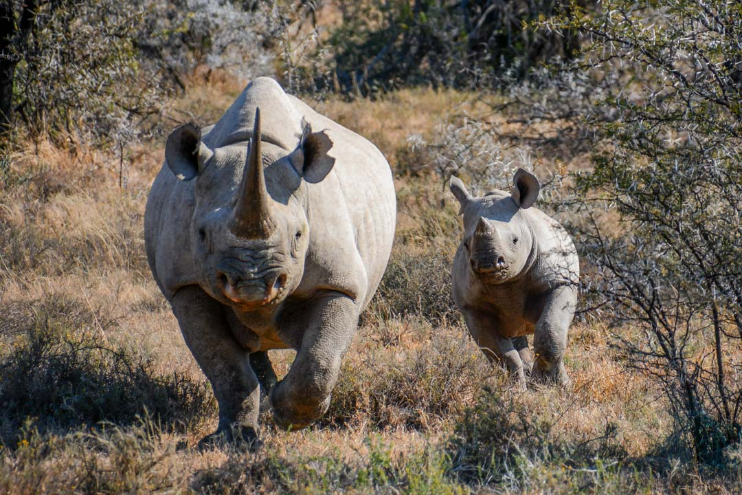 A rhino and its baby are facing the camera directly, the baby is running to keep up