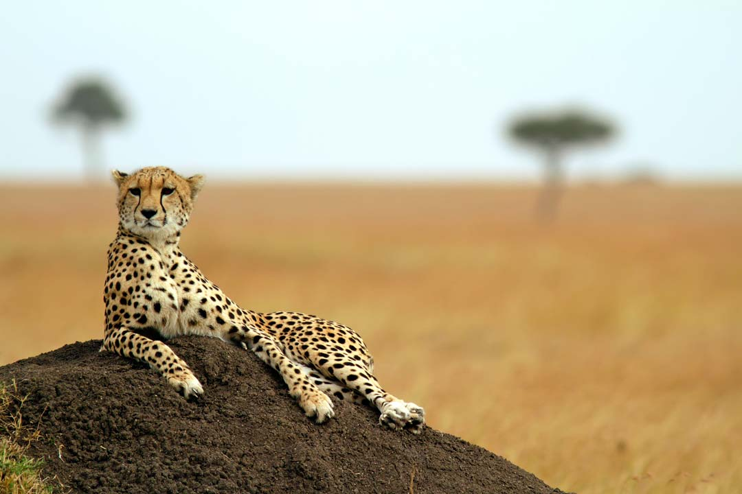 A cheetah lounges on a rock overlooking the savannah plains