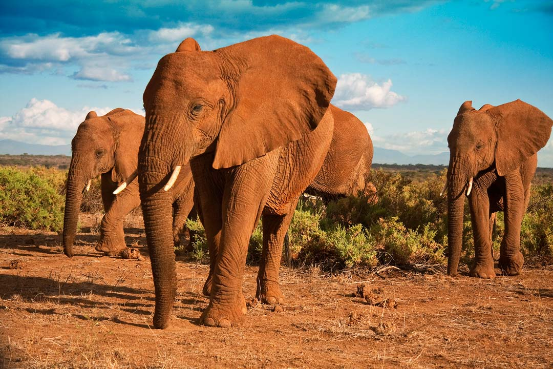 Four giant African elephants are walking across the bush and red earth
