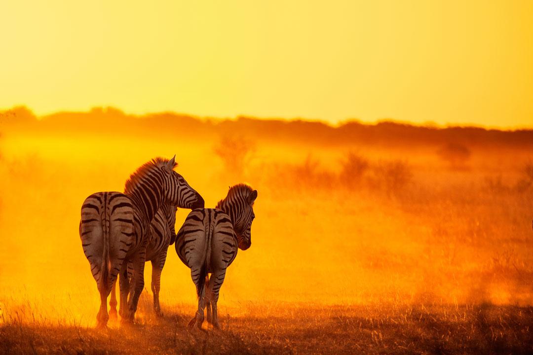 A group of Zebra look onwards as the sun illuminates dust on the savannah