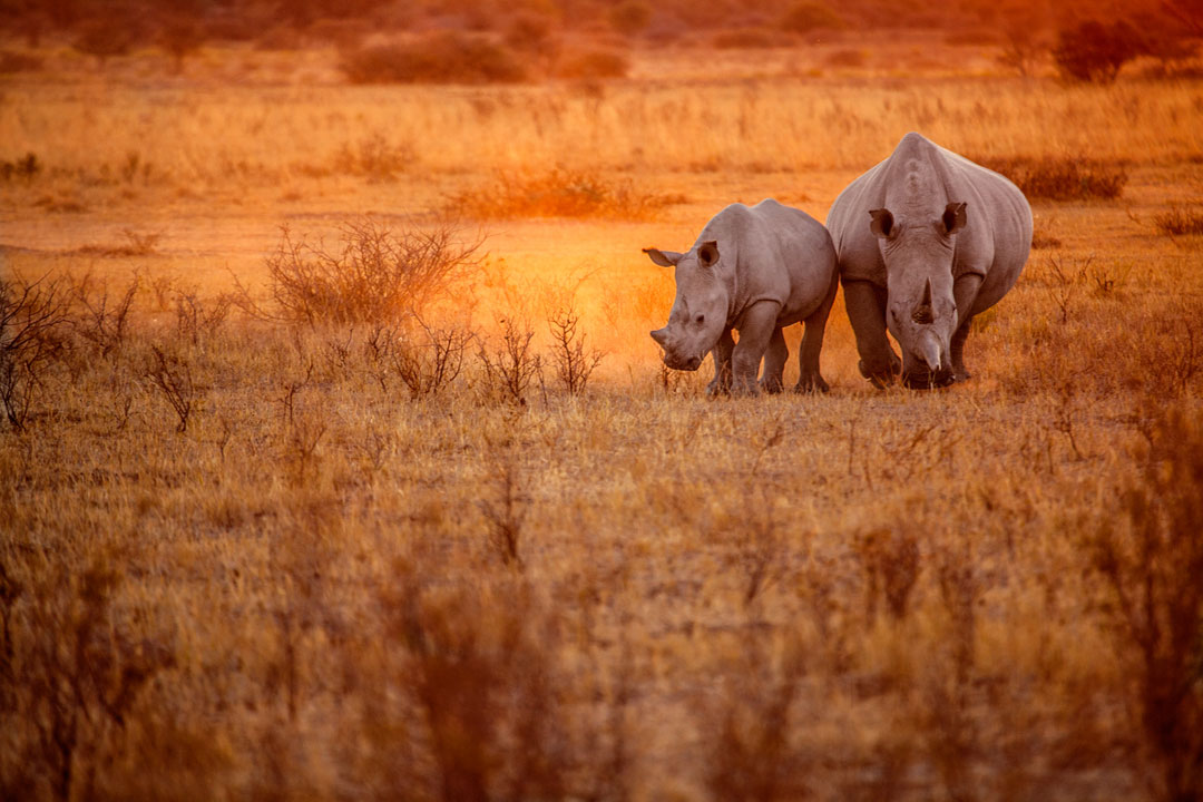 A giant grey African rhino with its baby walking across savannah plains