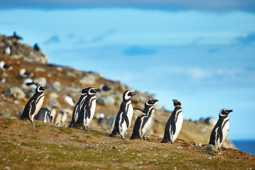 A waddle of penguins gathered on a rocky cliff facing the sea
