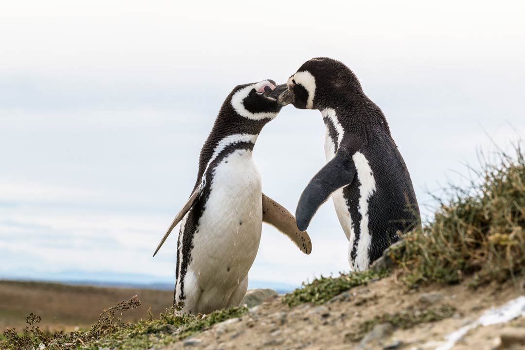 Two small penguins greeting each other with their beaks
