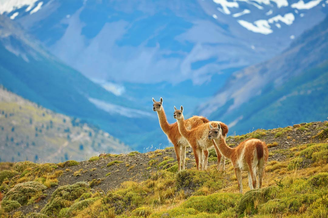 Three alpacas with their long shaggy necks look toward the camera with mountains in the background