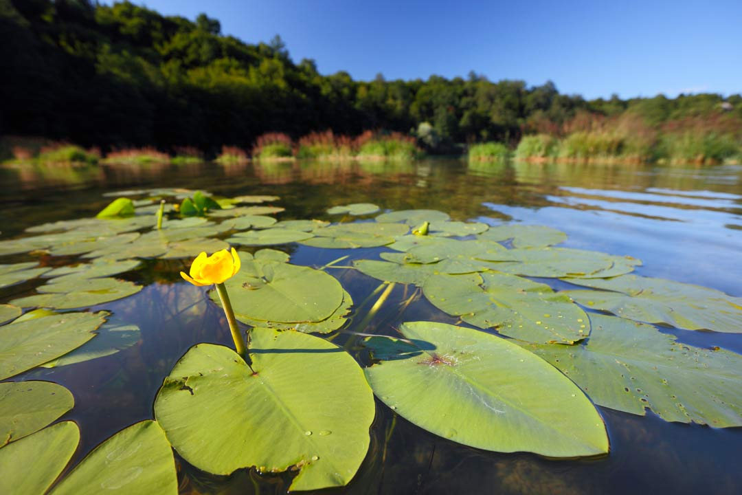 Lily pads and water plants float on a river with long grass and trees in the background