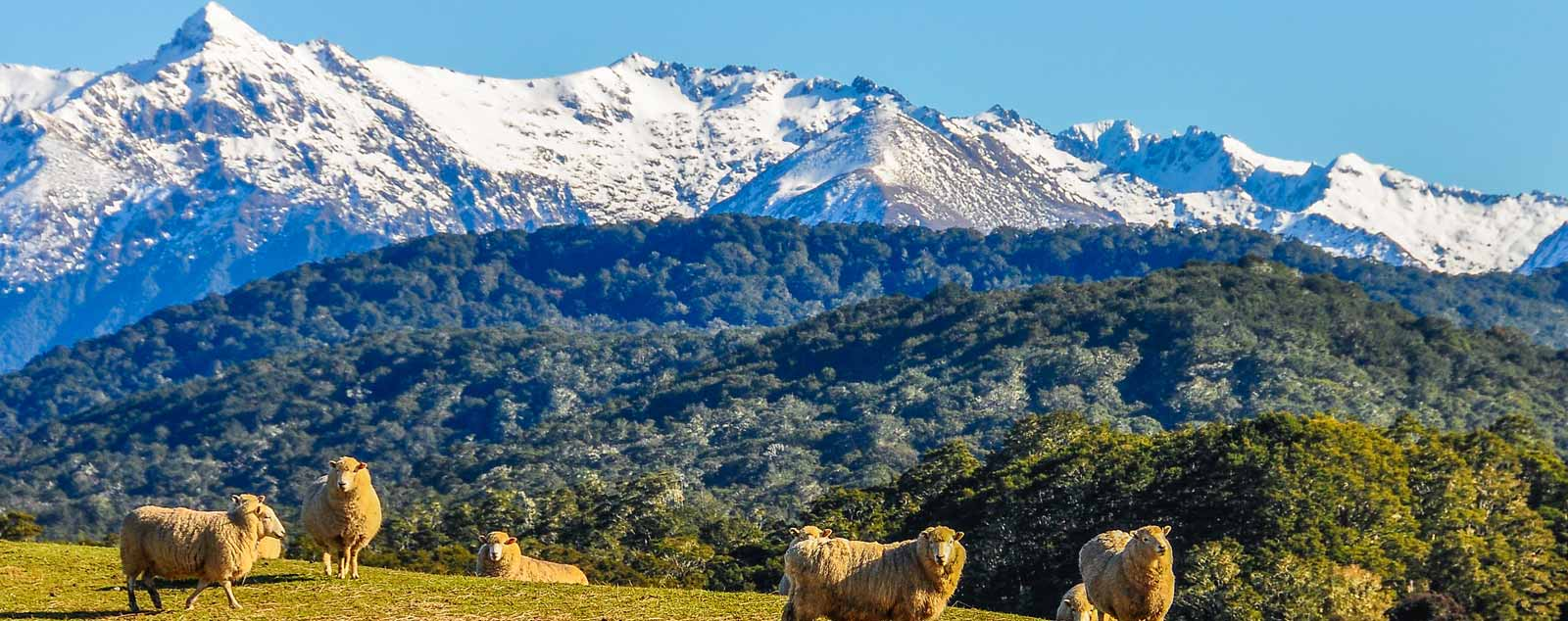 Fluffy sheep stand on a green knoll in front of dense forest and snow topped mountains in the far distance