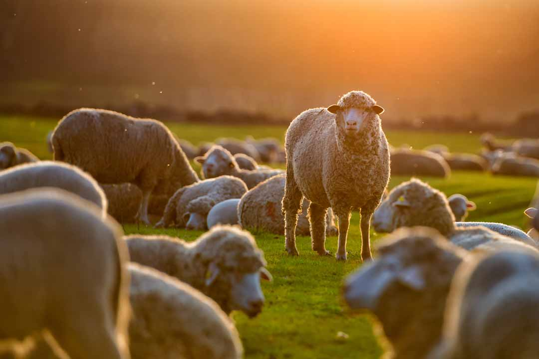 A flock of sheep rest in a hazey sunset