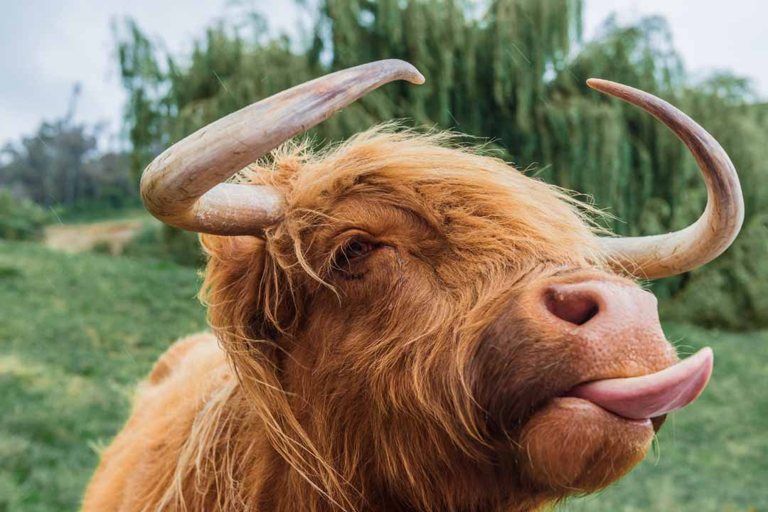 A cow with fluffy gingery hair, big horns and its tongue sticking out