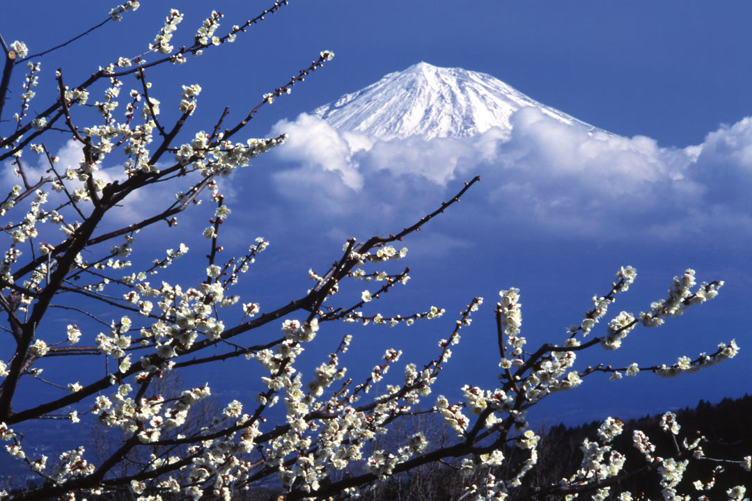 White blossoms in the foreground with Mount Fuji in the background