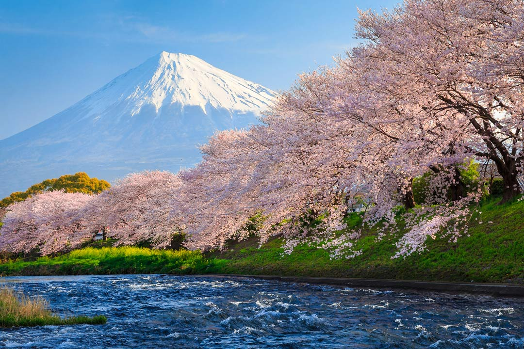 Pink blossom trees line a river with a snow-capped Mount Fuji in the background