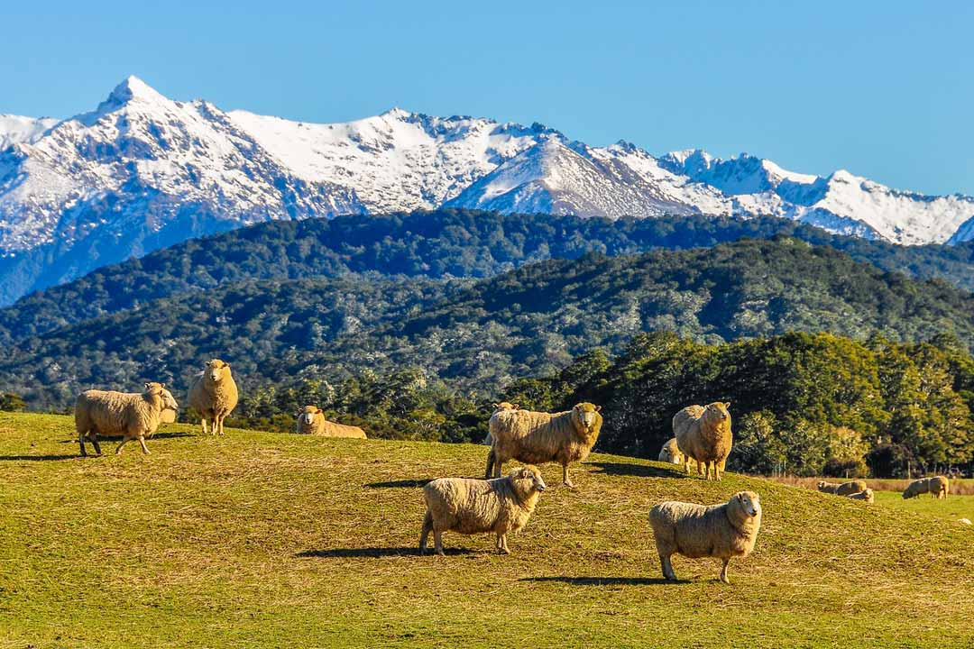 Fluffy sheep stand on a green knoll infront of dense forest and snow topped mountains in the far distance