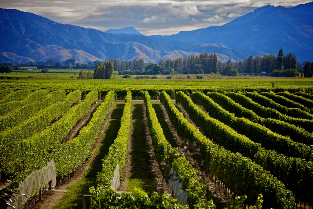 A verdant green vineyard stretches into the distance towards steep mountain slopes