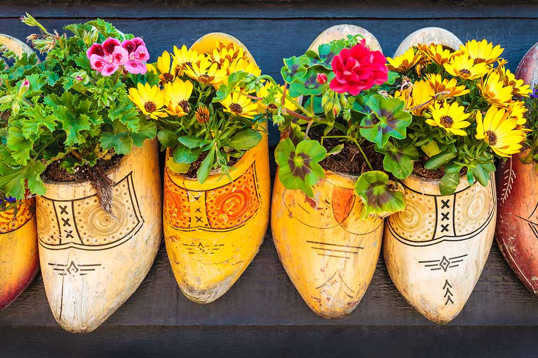 Old wooden clogs with blooming flowers hanging on a black wooden wall